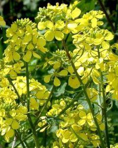 Растение - Горчица