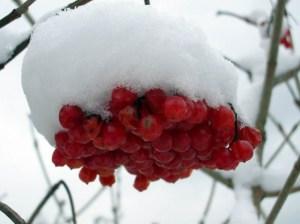 Ветка кустарника под снегом